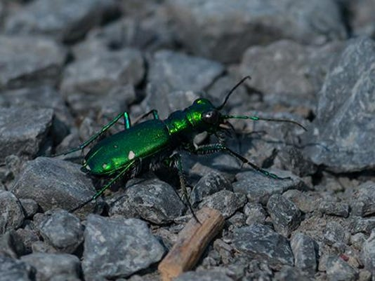 Six-spotted Tiger Beetle, Photo by Carl Mueller
