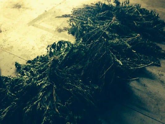 marijuana plants.JPG
