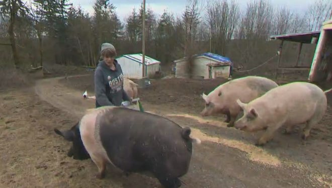 A man who shot and killed a farm pig with a bow and arrow in St. Helens has been arrested.