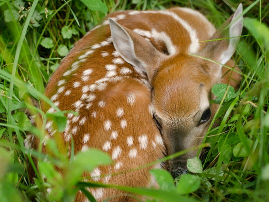 Spotted Whitetail Deer Fawn in Green Clover