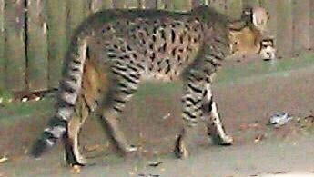 This photo taken by a resident shows the big cat that has been roaming a Detroit neighborhood.