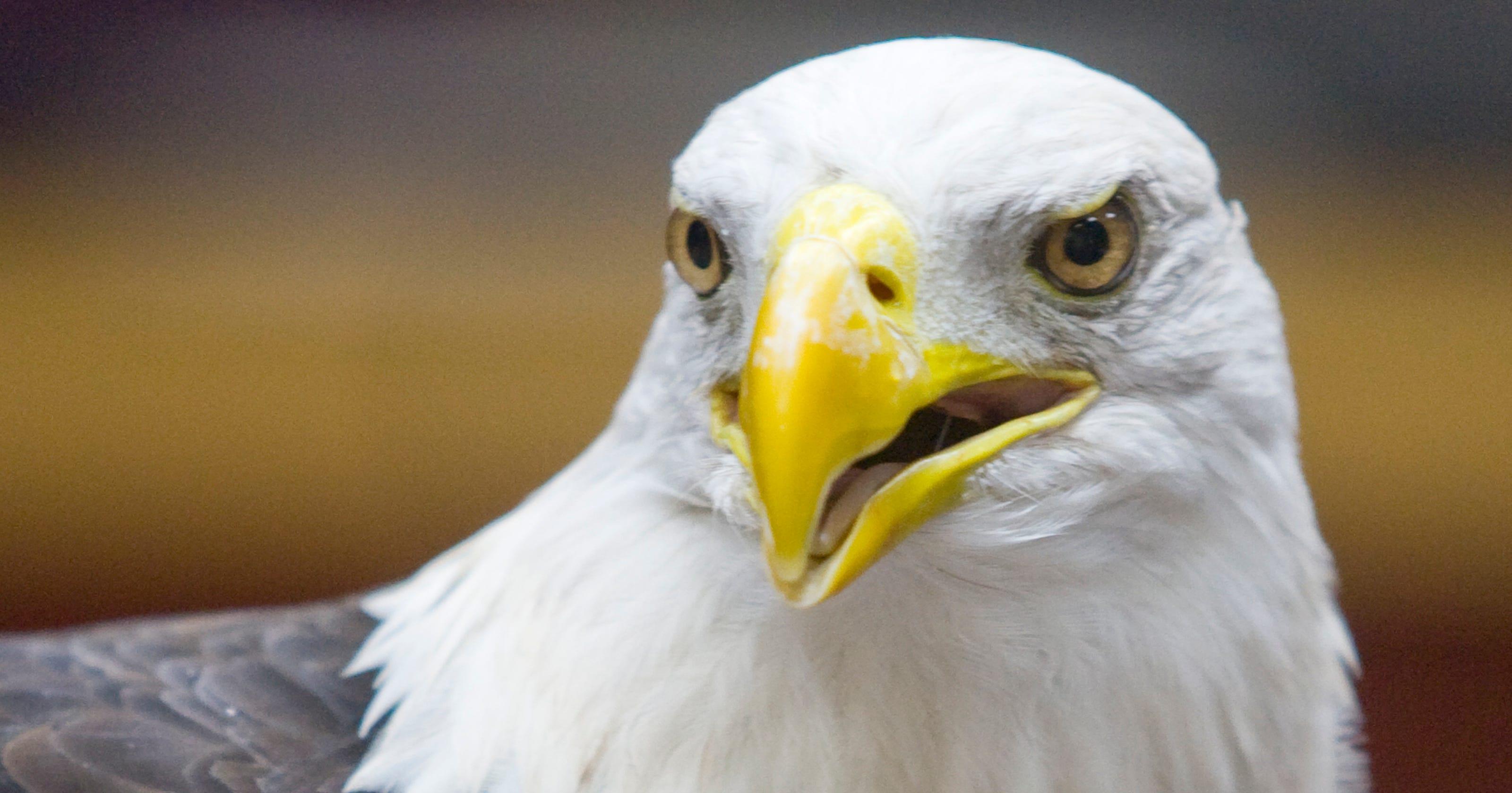Close Up Of The Bald Eagle