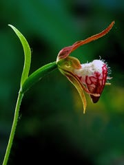 """Ram's head orchid photographed at The Ridges Sanctuary in Baileys Harbor by Douglas Sherman, part of his newly published photography book """"The Ridges Sanctuary: An Intimate View."""""""