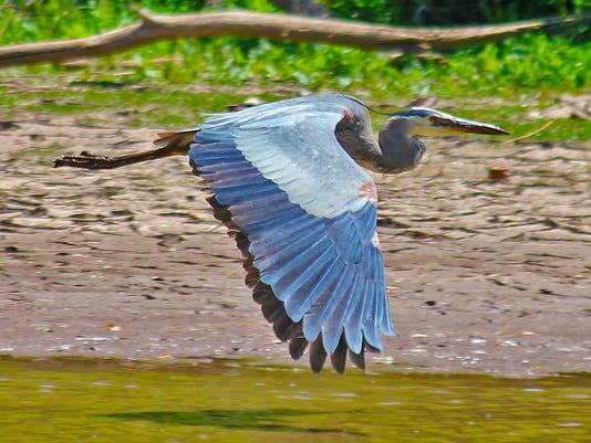 San Pedro heron