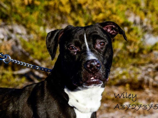 Wiley - Male (neutered) pitbull mix, about 1.5 years old. Intake date: 11/28/2017