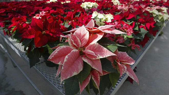 Hundreds of experimental poinsettias in colors of pink, red, white and even polka dot patterns, fill the University of Maryland Research Greenhouse Complex in College Park, Md. Pointsettias are not nearly as poisonous as a persistent myth says. Mild rashes from touching the plants or nausea from chewing or eating the leaves may occur, but they aren't deadly for humans or their pets.