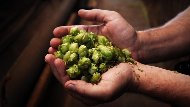 Hops can be grown in your back yard.