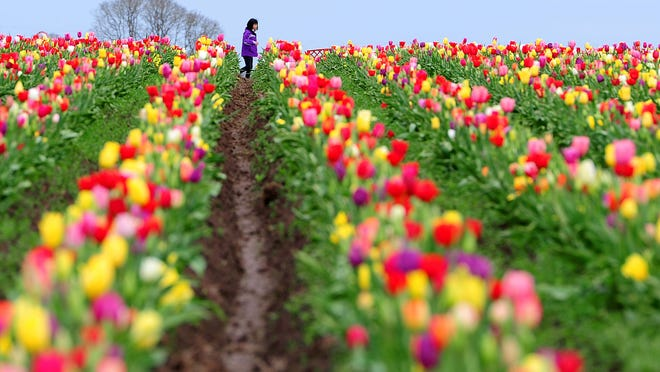 Christina Rabe, 9, walks through a field of tulips Sunday, March 22, during Tulip Fest at the Wooden Shoe Tulip Farm.
