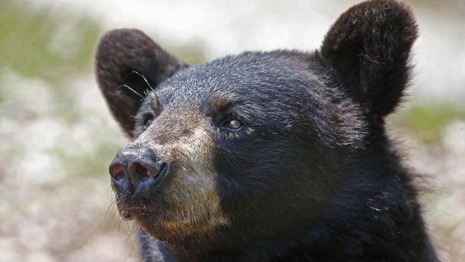 A black bear scans its surroundings in this file photo.