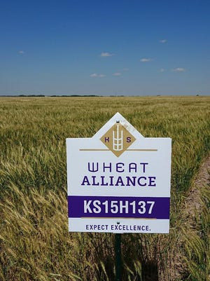 Wheat scientist Guorong Zhang announced in early June that he is ready to release a hard red winter wheat variety that is suited for the drier, western Kansas climate.