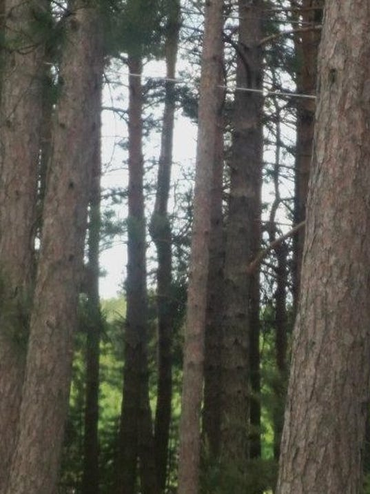 636126532366138555-10.23.16---stand-of-pines.jpg