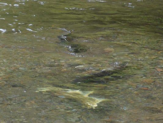 -salmon spawn 2.jpg_20110921.jpg