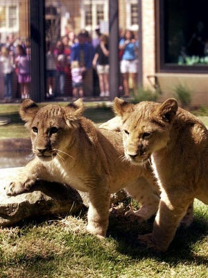 This April 14, 2003, file photo shows the University of North Alabama's new lion cubs Una, left, and Leo III, as they explore their new habitat on campus in Florence as a crowd gathers around to watch them during their public debut. Una died in June and PETA has asked that the university transfer Leo III to a sanctuary.