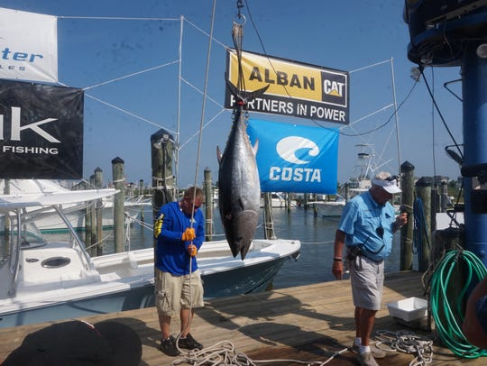 A blue fin tuna being weighed