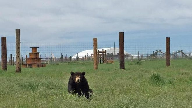 Ricki the Bear is out of hibernation at The Wild Animal Sanctuary in Kennesburg, Colo. Officials at the sanctuary say they get more requests for updates on Ricki than any of their other inhabitants.