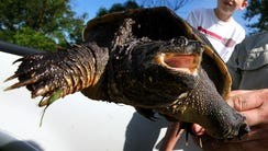 A snapping turtle is seen in this 2009 photo.