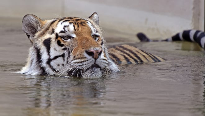 LSU's live tiger mascot, Mike VI, soaks himself in his pool at the school in Baton Rouge.