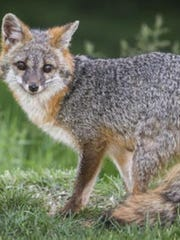 A fox in Augusta County tested positive for rabies.