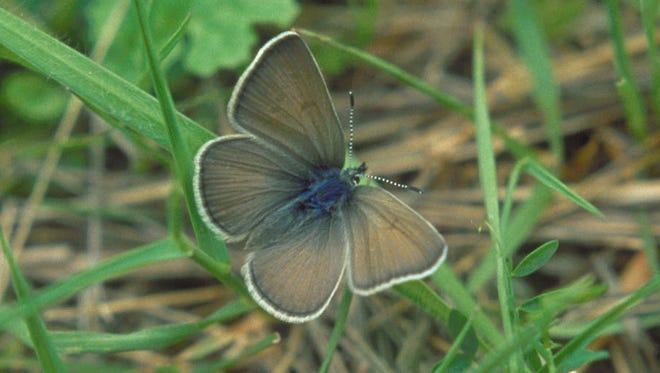 Photo of a Fender's blue butterfly taken near Fern Ridge Reservoir.