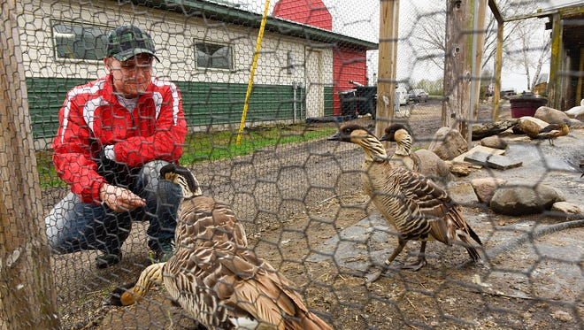 Marcus Hemker checked on the nene geese Monday, April 25, as he made his rounds checking on the animals at Hemker Park & Zoo in Freeport. The zoo is getting ready to open on Sunday.