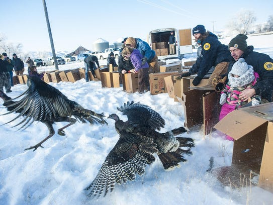 Montana Fish, Wildlife and Parks releases wild turkeys