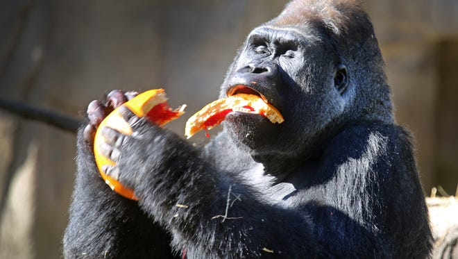 Jomo, a 25-year-old silverback at the Cincinnati Zoo and Botanical Garden enjoys his pumpkin filled with treats. Jomo won't allow the older females close while he's eating.