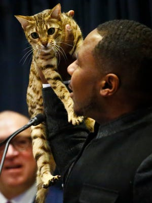 """Cat breeder Anthony Hutcherson shows off a Bengal Cat during a press conference, Monday Jan. 30, 2017, in New York. The Bengal Cat will feature at the 141st Westminster Kennel Club Dog Show in a non-competitive """"meet the breeds"""" exhibition."""