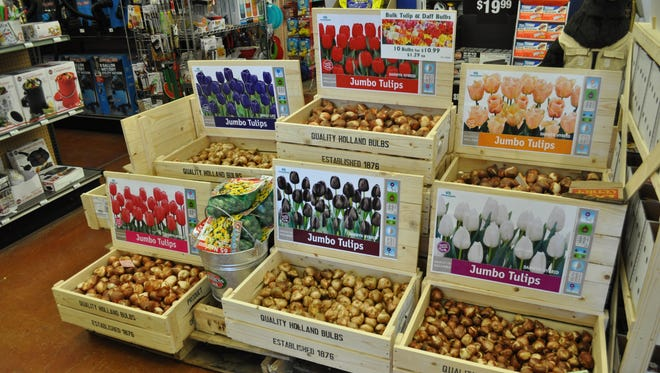 Plant tulip bulbs in early December in well drained soil.