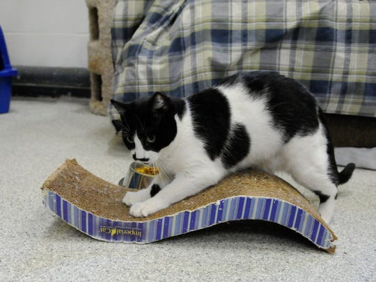 """Binx goes to work on a corrugated """"wave"""" scratching pad at the Secaucus Animal Shelter."""