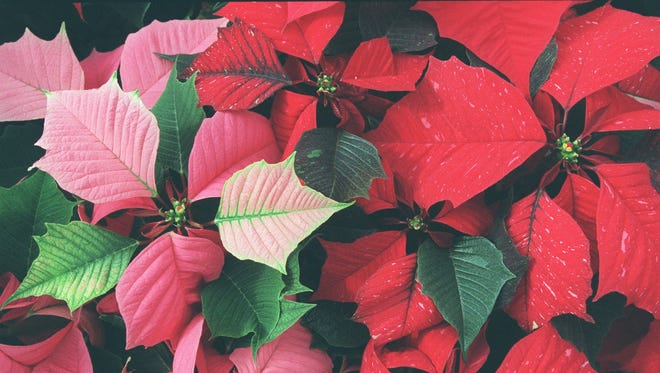 20967 -- Some of many colorful leaves of the poinsettia plant for sale at Garner's World at 3401 E. Baseline Road in Phoenix. The nursery will be holding it's annual Poinsettia Festival this weekend from 10 a.m. - 5 p.m. Saturday and Sunday. People can choose from over 30,000 of the plants and 40 different varieties.  Photo by Tim Koors  12/2/99