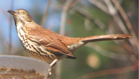 Brown thrashers can sing nearly 1,100 different song types.