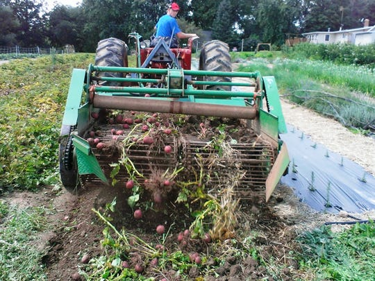Potatoes being harvested earlier this year at High