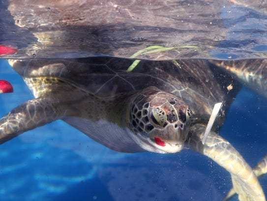 Turtles are fed during a new Exclusive Encounters program