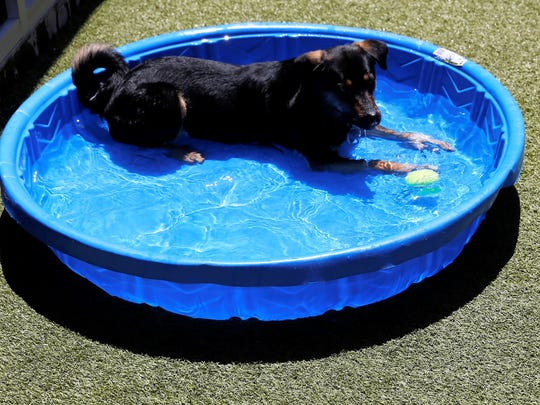 A dog named Teddy cools off in a wading pool Thursday at the Farmington Regional Animal Shelter.