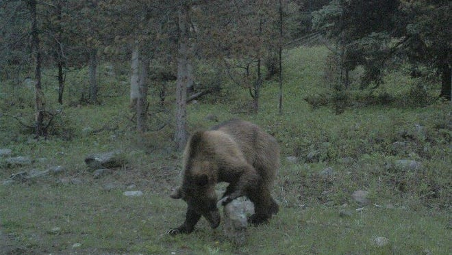 A trail camera took a picture of this grizzly bear northwest of White Sulphur Springs last  summer. A grizzly bear has now turned up north of Two Dot, which is east of White Sulphur Springs.