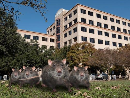636476549687364297-texas-tribune-rats-in-austin.jpg