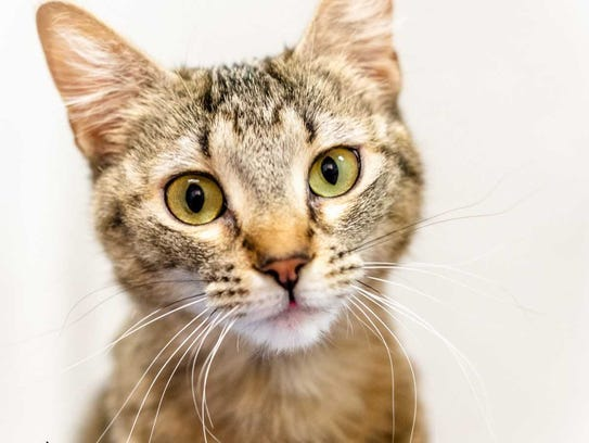 Chaos - Female (spayed) domestic short hair, about