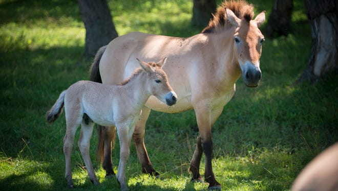 Prezewalski's Wild Horse and young at the Wilds.