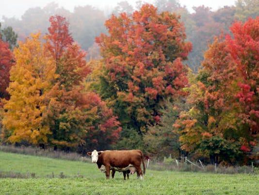636135944474930627-Cows-in-field-AP.jpg