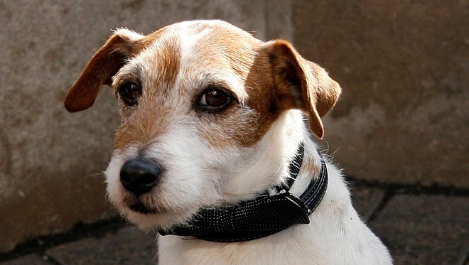 A Jack Russell Terrier is shown in this file photo