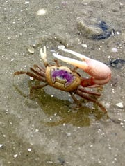 A fiddler crab scurries across the sand on one of North