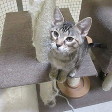 AUG. 28 – Betsy is a 5-month-old brown tabby available for adoption through St. Louis County Animal Care & Control.