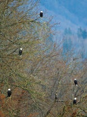 Bald eagles were a rare sight but here a convocation of eagles fills a tree. Eagles have rebounded from 450 breeding pairs in the 1970s to 10,000 breeding pairs today.