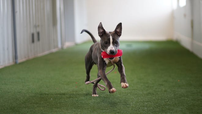 Ulysses, a mixed-breed, available for adoption at the Brandywine Valley SPCA in New Castle, runs with a toy in the recreation area of the center.