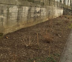 Many old trees have been removed from the area along the stone staircase that leads down from the Walled Garden, toward the Hudson River, to what's known as the Vista. They will be replaced with more than 100 evergreen Japanese cedars.