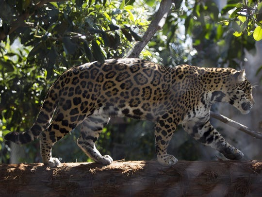 A jaguar stalks through its exhibit at the San Diego