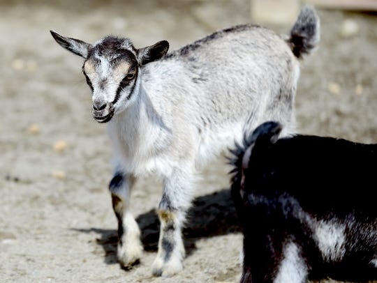 A young goat at Animal Adventure Park in Harpursville.