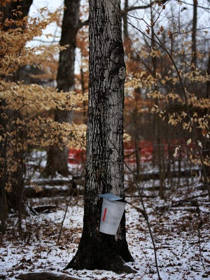 A bucket hangs from a maple tree at the Cincinnati Nature Center to collect sap for the making of maple syrup. The Cincinnati Nature Center and Mt. Carmel Brewing Company are hosting a Maple on Tap event for the beginning of the maple season and the release of a collaborative beer called Sap Attack Imperial Maple Brown Ale.