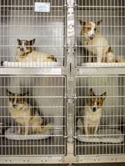 Four Norwegian spitz mix dogs look out from their cage June 21, 2016, at St. Clair County Animal Control in Port Huron Township.