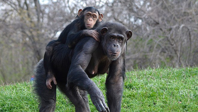Akati, pictured with her chimp, Akira